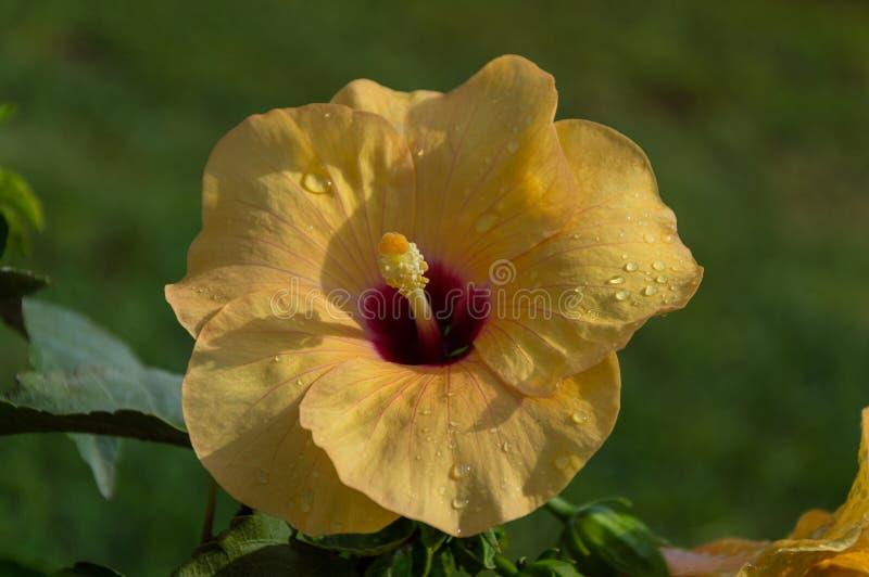 Flor del hibisco amarillo de Hibiskus imágenes de archivo libres de regalías