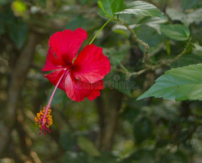 Flor del hibisco, Costa Rica Biodiversity imagen de archivo libre de regalías