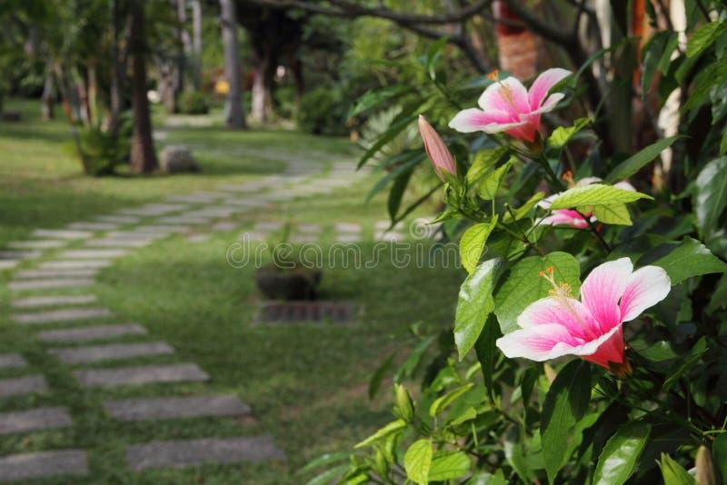 Flor del hibisco que florece en un jardín tropical imagenes de archivo