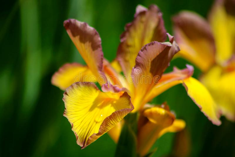 Flor del iris del beso de Barbara fotos de archivo