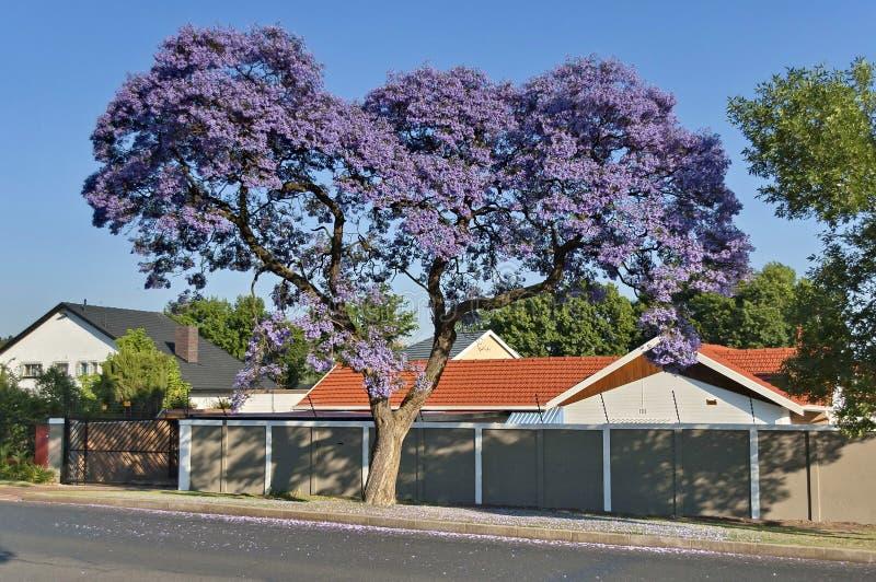 Flor del Jacaranda en primavera fotografía de archivo