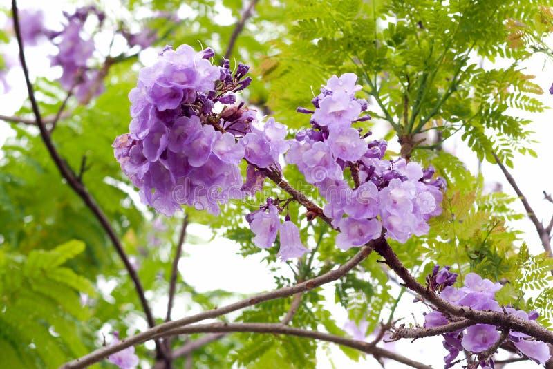 Flor del Jacaranda, una especie con una inflorescencia en la extremidad de la flor púrpura fotos de archivo