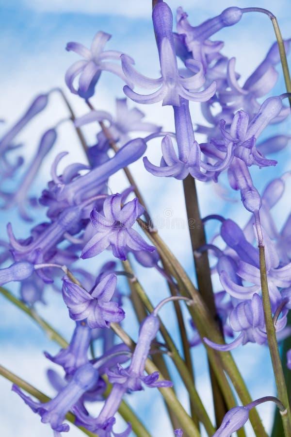 Flor del jacinto fotos de archivo