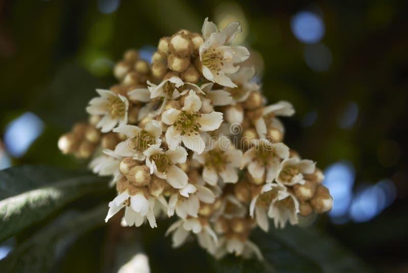 Flor del japonica del Eriobotrya imagen de archivo libre de regalías