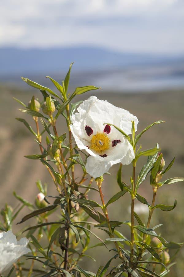 Flor del Jara y depósito en el fondo en la región de Extremadura fotos de archivo libres de regalías