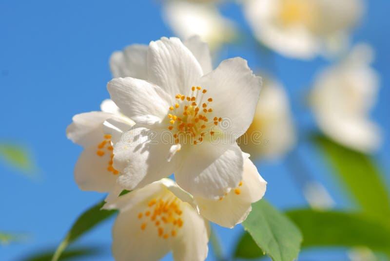 Flor del jazmín imágenes de archivo libres de regalías