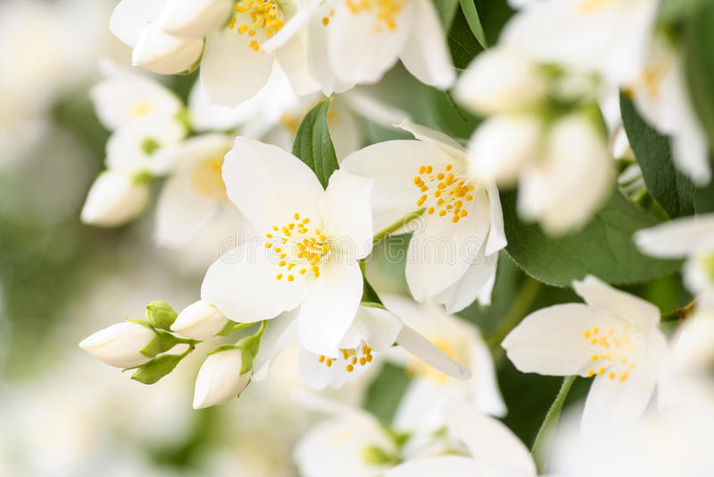 Flor del jazmín fotografía de archivo