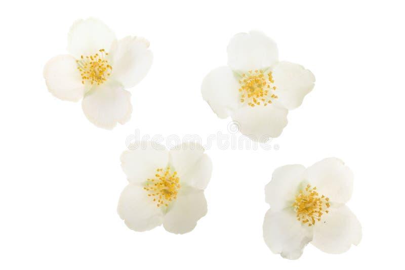 Flor del jazmín aislada en el primer blanco del fondo fotos de archivo
