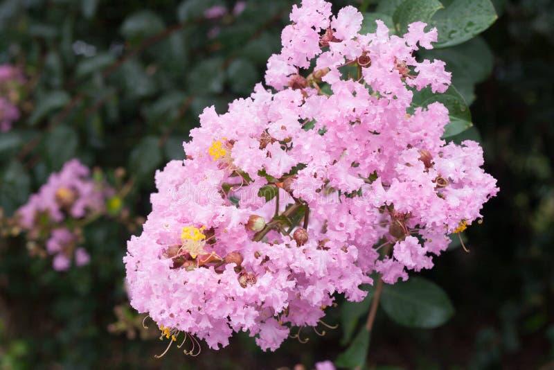 Download Flor Del Lagerstroemia Indica Imagen de archivo - Imagen de crape, floración: 64209039