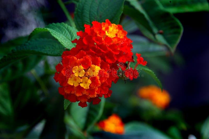 Flor del Lantana fotos de archivo libres de regalías