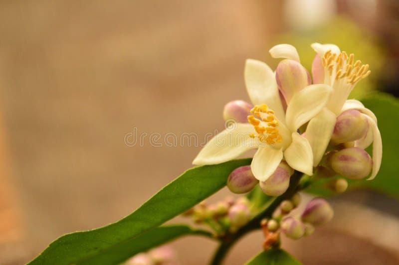Flor del limón de Meyer fotos de archivo