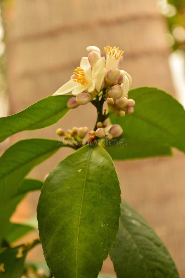 Flor del limón de Meyer foto de archivo libre de regalías