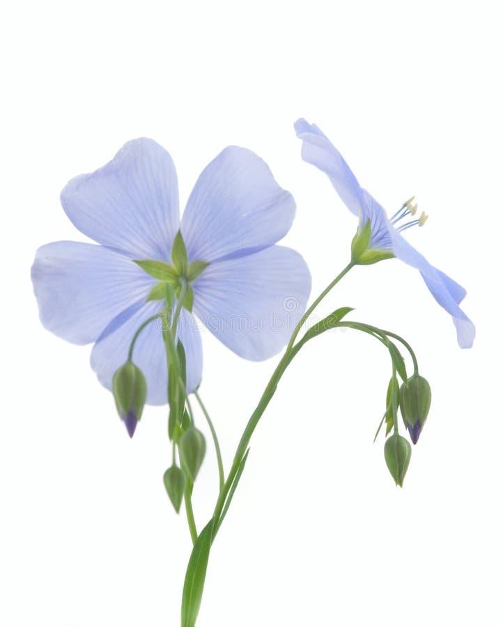 Flor del lino foto de archivo libre de regalías