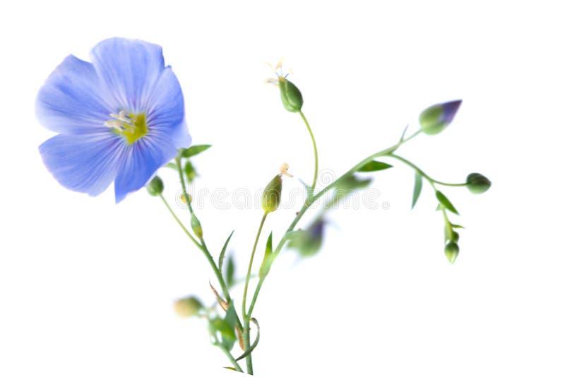 flor del lino aislada fotos de archivo