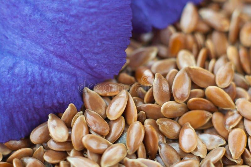 Flor del lino en las semillas foto de archivo