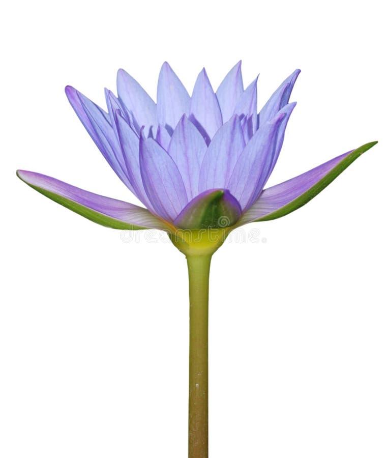 Flor del lirio de agua azul imagen de archivo