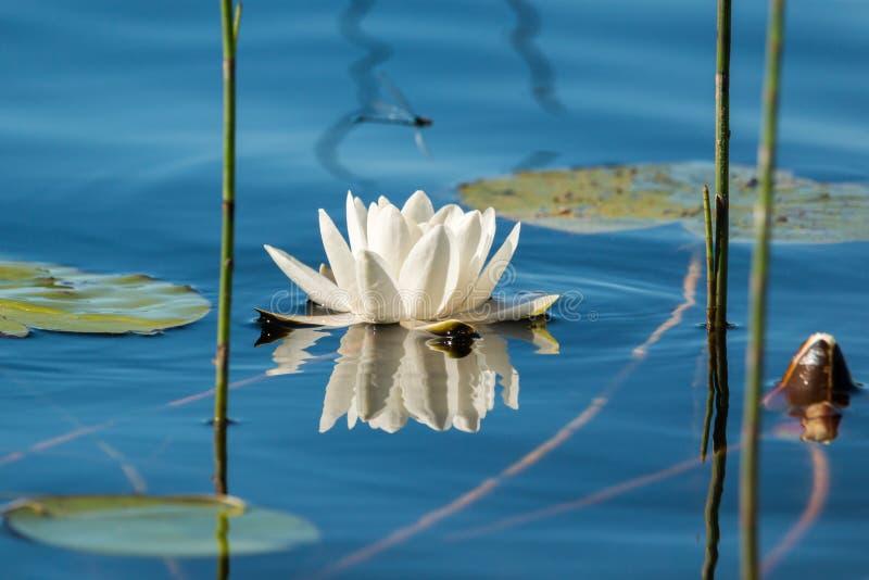 Flor del lirio de agua blanca que flota en el agua imagenes de archivo