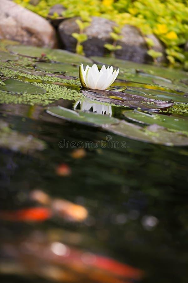 Flor del lirio de agua con los pescados de oro del koi de la carpa foto de archivo libre de regalías