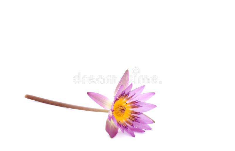 Flor del lirio de agua en la tierra de la parte posterior del blanco imágenes de archivo libres de regalías