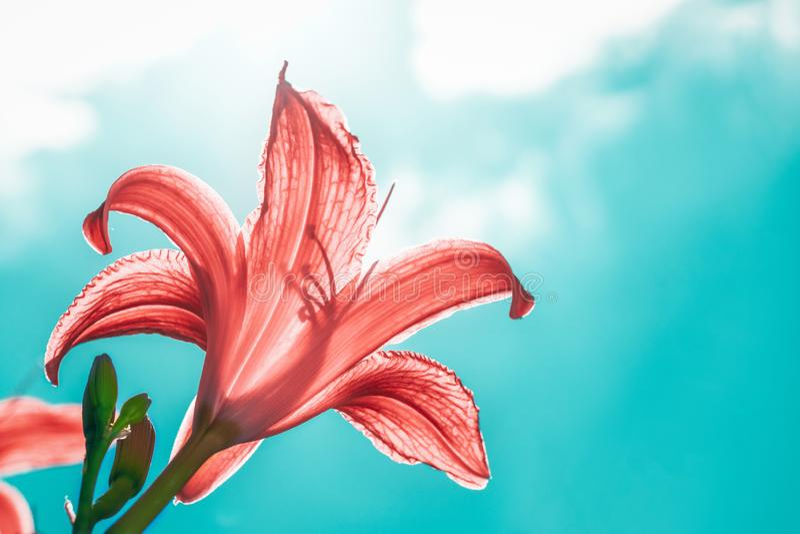 Flor del lirio del jardín en sol retroiluminado en un cielo nublado imágenes de archivo libres de regalías
