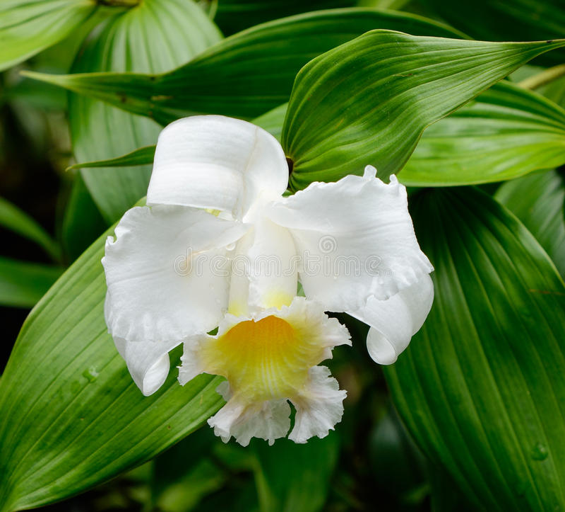 Flor del longiflorum del Lilium en el parque en Singapur imagen de archivo libre de regalías