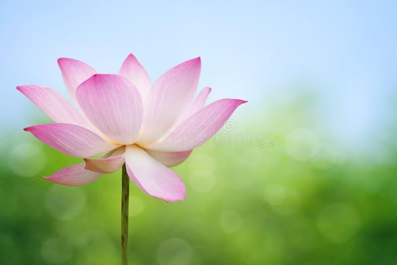 Flor del loto fotos de archivo libres de regalías