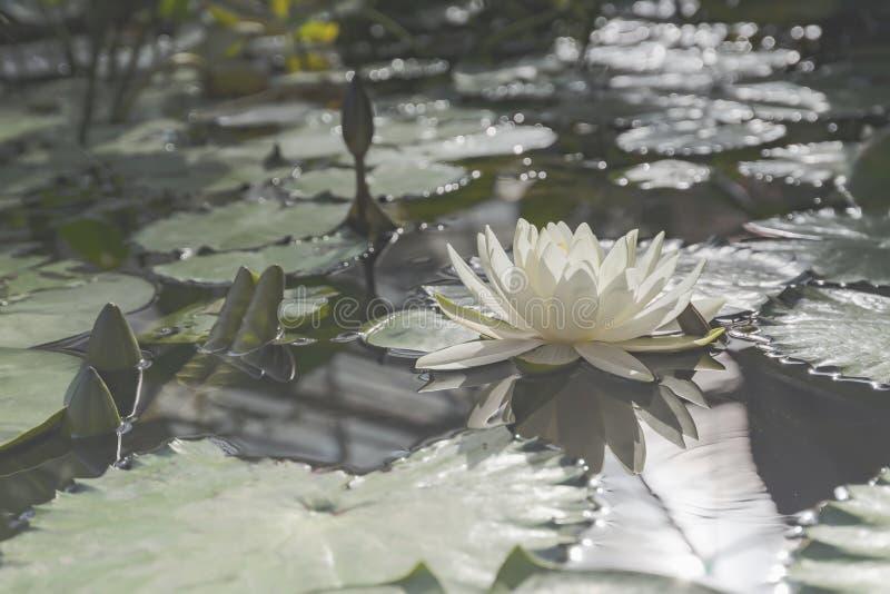 Flor del loto blanco fotos de archivo