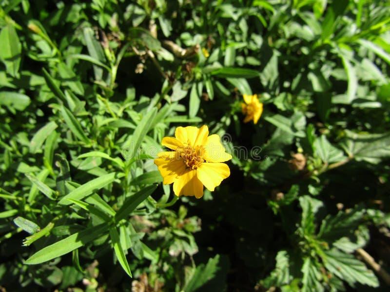 Flor del lucida de Tagetes fotografía de archivo