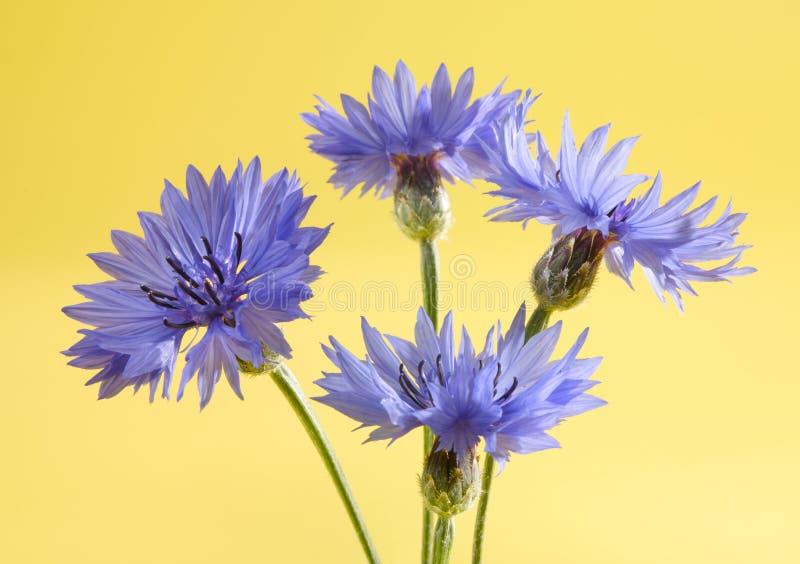 Flor del maíz fotografía de archivo