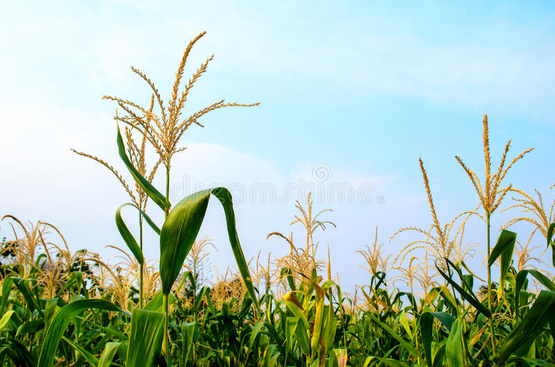 Flor del maíz fotos de archivo libres de regalías