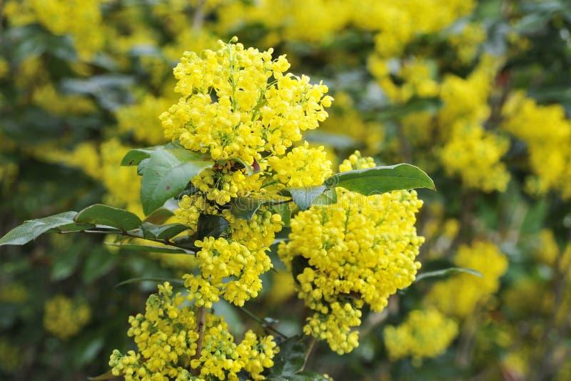 Flor del Mahonia imagenes de archivo
