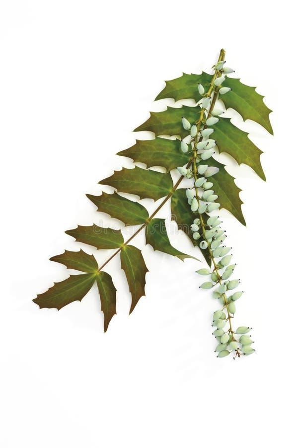 Flor del Mahonia (aquifolium del Mahonia) fotografía de archivo libre de regalías