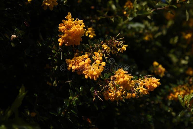 Flor del Mahonia en un jardín de Lancashire fotos de archivo