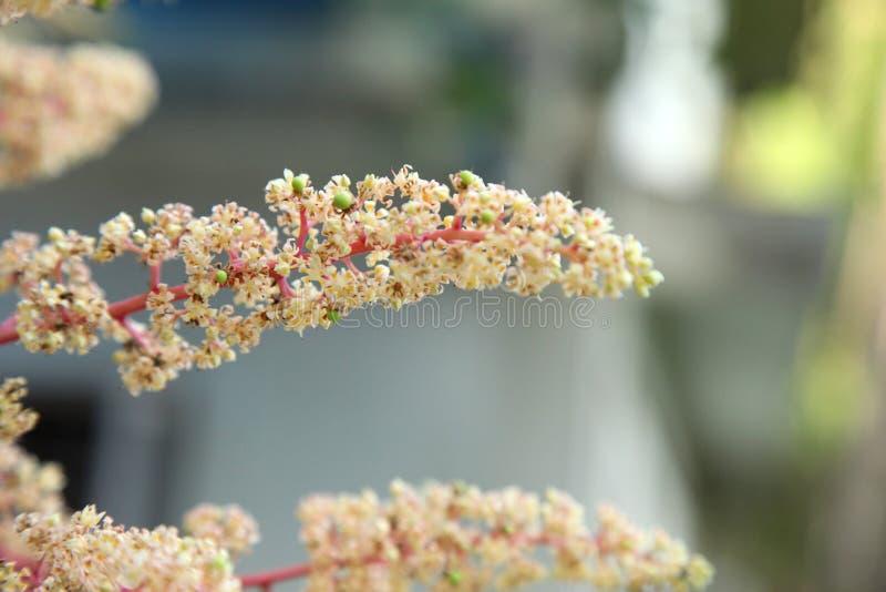 Flor del mango, rama de A de la flor del mango de la inflorescencia fotografía de archivo