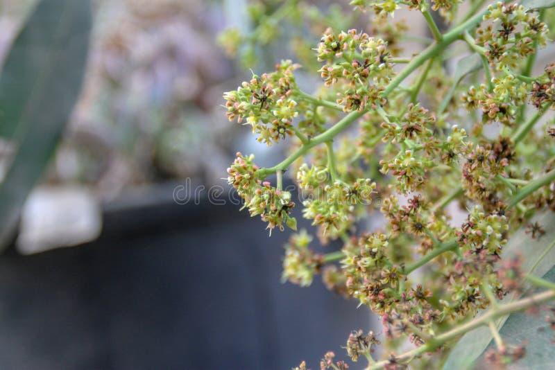 Flor del mango, rama de A de la flor del mango de la inflorescencia imágenes de archivo libres de regalías