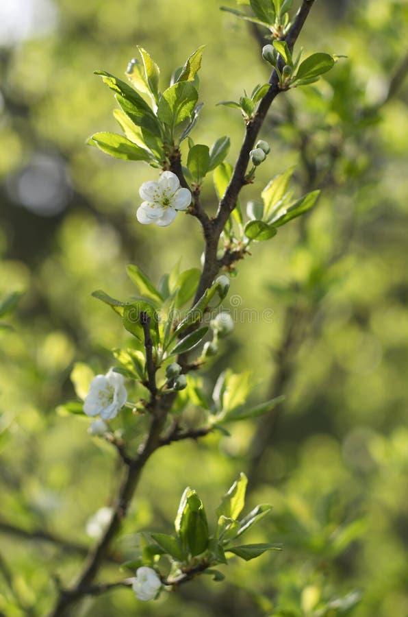 Flor del manzano en primer de la primavera fotografía de archivo