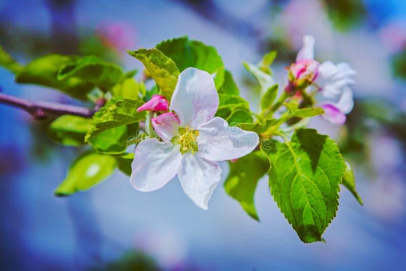 Flor del manzano floreciente en rama con imagen de archivo