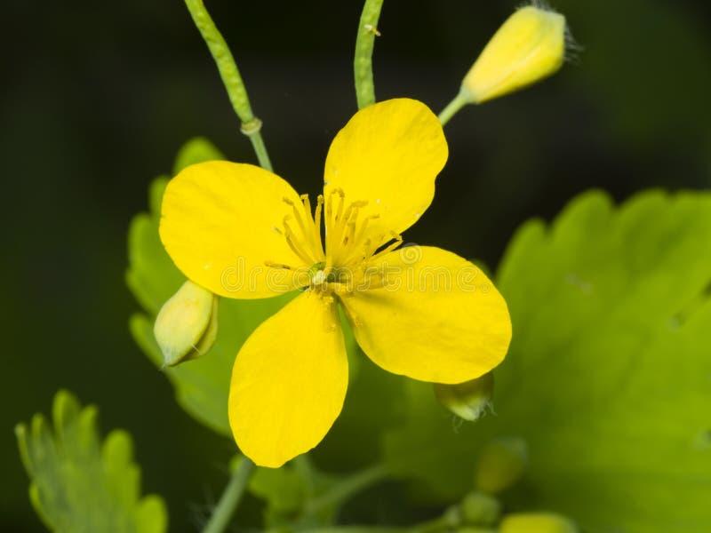 Flor del mayor celandine o del tetterwort, majus del Chelidonium, macro, foco selectivo, DOF bajo fotos de archivo