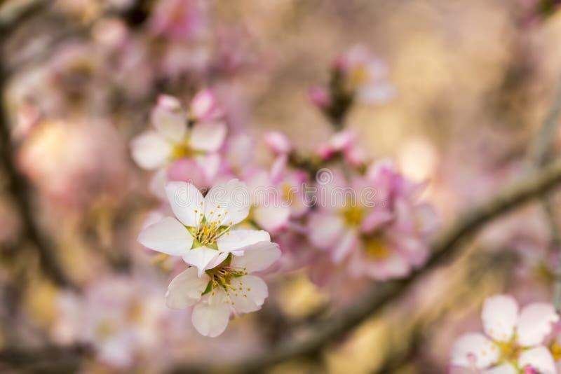 Flor del melocotón, árbol de la primavera con las flores rosadas fotografía de archivo