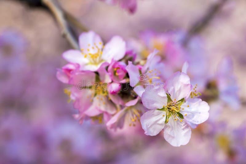 Flor del melocotón, árbol de la primavera con las flores rosadas imagen de archivo