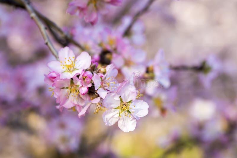 Flor del melocotón, árbol de la primavera con las flores rosadas imagen de archivo libre de regalías