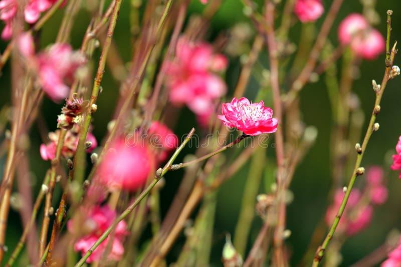 Flor del melocotón foto de archivo