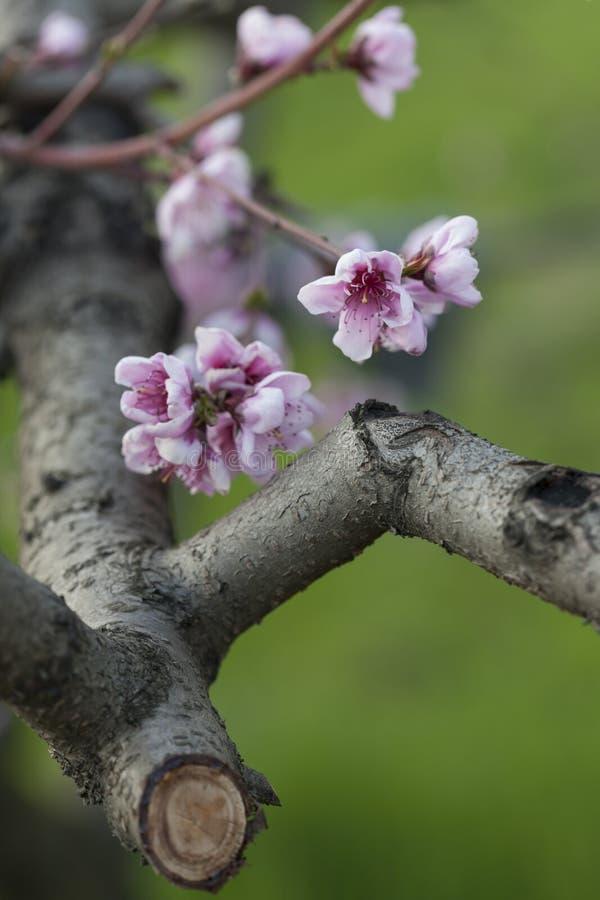 Flor del melocotón imagen de archivo libre de regalías