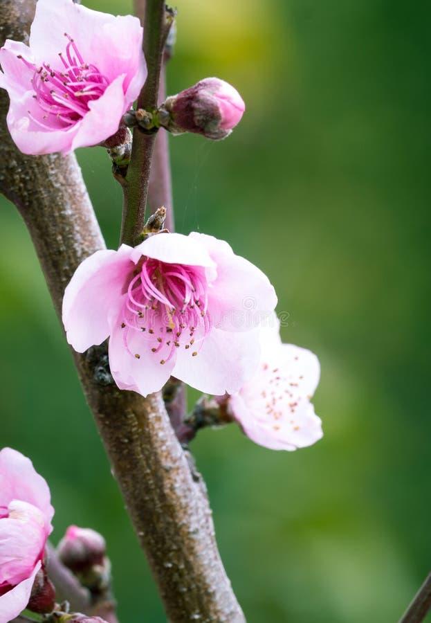 Flor del melocotón imagenes de archivo