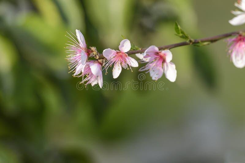 Flor del melocotón imágenes de archivo libres de regalías