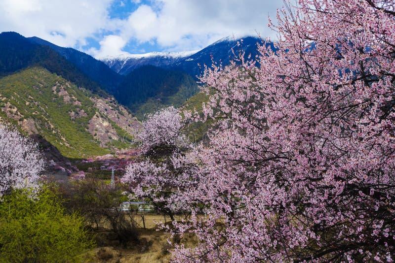 Flor del melocotón con la montaña de la nieve en primavera imagen de archivo