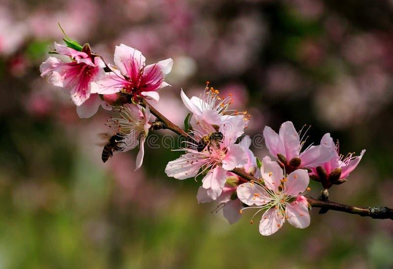 Flor del melocotón con las abejas fotos de archivo libres de regalías
