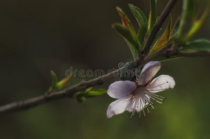 Flor del melocotón en resorte foto de archivo libre de regalías