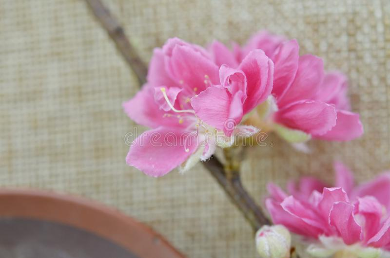 Flor del melocotón por Año Nuevo lunar imagen de archivo