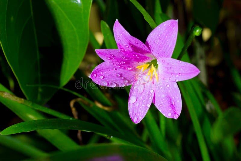 Flor del minuta de Zephyranthes, provincia de Chiang Mai, Tailandia imagenes de archivo